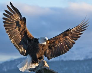Bald-Eagle-Spreading-Its-Wings.jpg